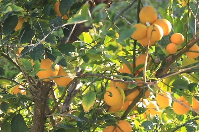 beautiful lemon trees
